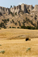 Buffalo near Fort Robinson